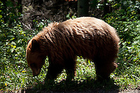 Bear Cub Foraging, Glacier National Park, Montana, US