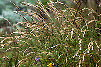 Melica californica perennial California native Melic grass