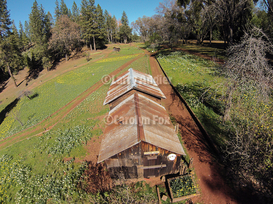 Grandma's Cabin Daffodil Hill, Amador County, Calif. in spring from low-level quadcopter flight.