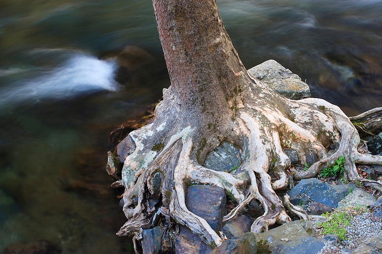 Sycamore tree along the shore of the Little River; Great Smoky Mountains National Park, TN