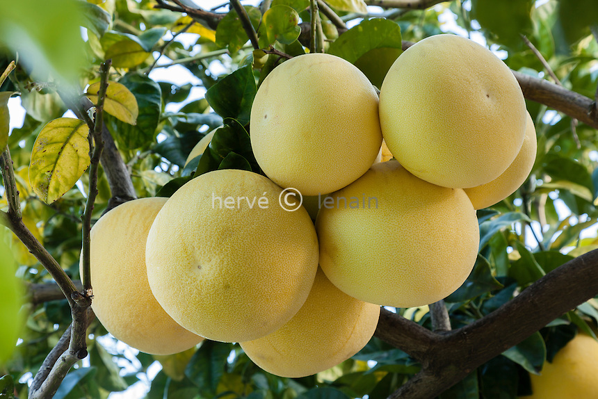 France, Alpes-Maritimes (06), Menton, la collection d'agrumes du palais Carnoles : pamplemousse, Citrus maxima.