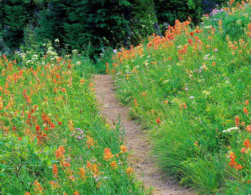 Path with Indian Paintbrush. Bird Creek Meadows, Washington.