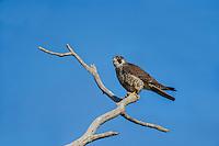 Peregrine Falcon (Falco peregrinus).  California.  Spring.