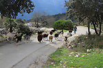 Herd of goats on road,  near Benimaurell, Vall de Laguar, Marina Alta, Alicante province, Spain