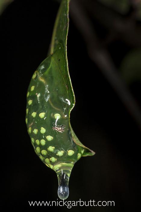 Eggs of Tree Frog (Guibemantis liber) on leaf overhanging rainforest pond. Vohiparara, Ranomafana National Park, Madagascar.