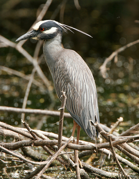 Adult yellow-crowned night-heron at Paradise Pond, Port Aransas, TX. These birds nest and roost in the trees at the back of the pond.