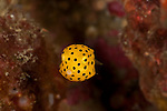 Yellow boxfish juvenile (Ostracion cubicus)
