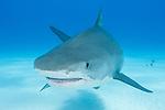 Tiger Beach, Grand Bahama Island, Bahamas; a large, female tiger shark turning towards the camera while swimming over the shallow, sandy bottom at Tiger Beach