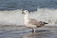 Mantelmöwe, Jugendkleid, juvenil, Jungtier, Mantel-Möwe, Möwe, Mantelmöve, Larus marinus, great black-backed gull