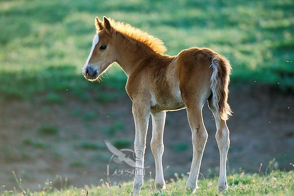Young wild horse colt.  Western U.S., summer..(Equus caballus)
