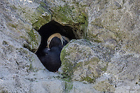 Tufted puffin (Fratercula cirrhata) in nest hole.