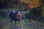 India, Kaziranga National Park, Indian water buffalo  (Bubalus arnee) in swamp, Kaziranga National Park, Assam, India