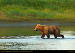 Alaskan Coastal Brown Bear at Sunset, Silver Salmon Creek, Lake Clark National Park, Alaska
