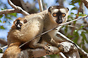 Red fronted brown lemur {Lemur fulvus rufus} with baby, Kirindy forest, West Madagascar