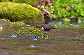 White-throated Dipper (Cinclus cinclus) shaking Caddisfly out of it's casing. Dippers have a remarkable way to catch food in a niche area. They are able to dive under water readily at will and walk along the bottom in search of caddis fly larva and other food.