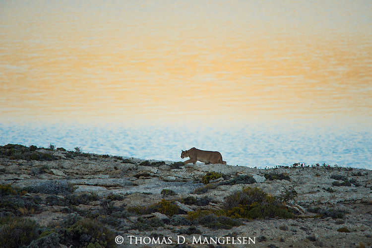 A Puma stalks along the rocky hill top in Patagonia, Chile.