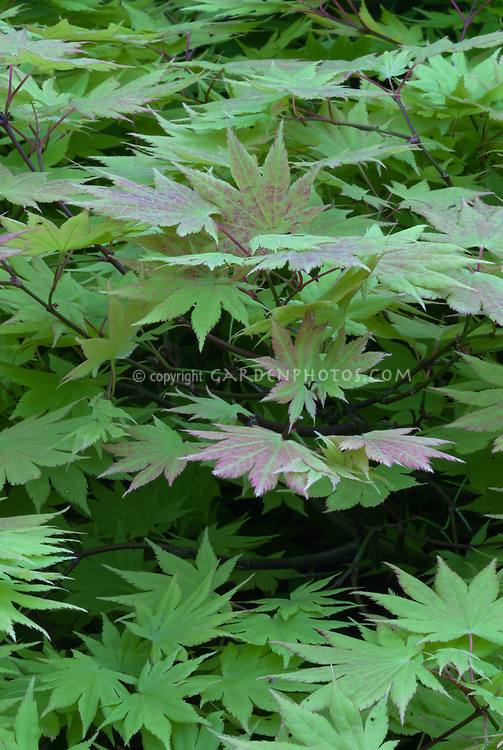 Acer shirasawanum Autumn Moon Full Moon Japanese maple in spring