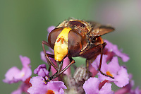 Hoverfly - Volucella zonaria on Budliea flowers.