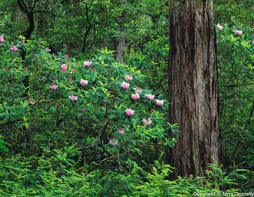 Siskiyou National Forest, OR  <br /> Flowering Pacific rhododendron (R macrophyllum) in Redwood (Sequoia sempervierns) forest - Redwood Nature trail