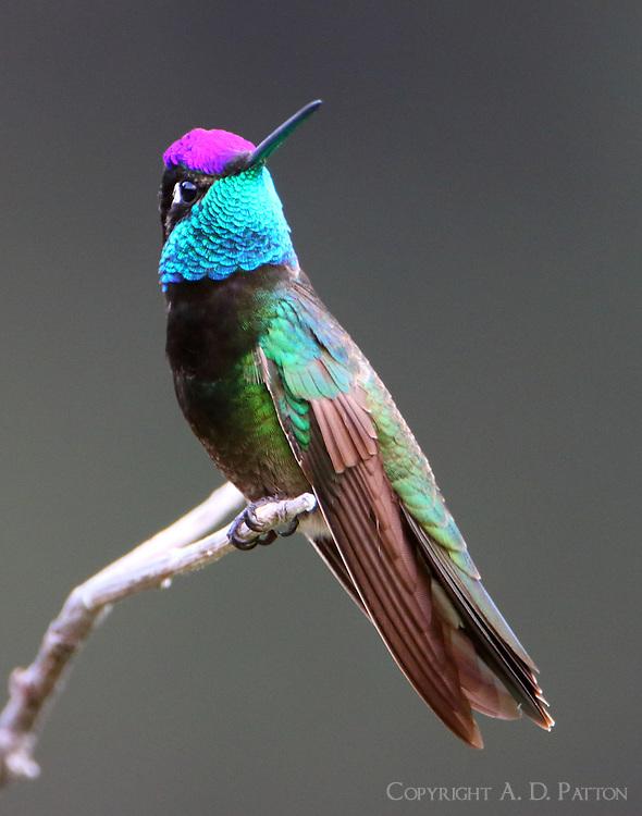 Adult male magnificent hummingbird