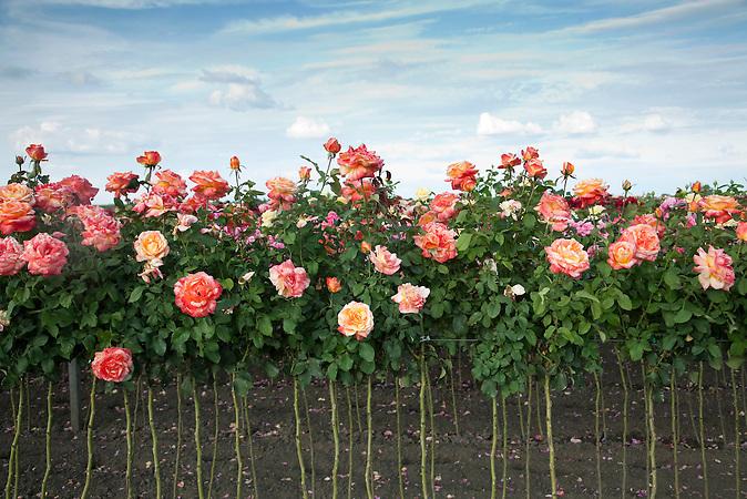 Senta, Vojvodina, Serbien, 11.07.2009: Eine Rosenplantage in der N&auml;he von Senta.<br /> Senta, Vojvodina, Serbien, 11.07.2009: A rose plantation near Senta.<br /><br />[ CREDIT: www.throughmyeyes.de - Merlin Nadj-Torma - phone +49-177-8279119 - merlin@throughmyeyes.de ]