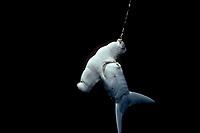 Scalloped Hammerhead Shark, Sphyma lewini, hooked on a long line. Cocos Island, Costa Rica - Pacific Ocean