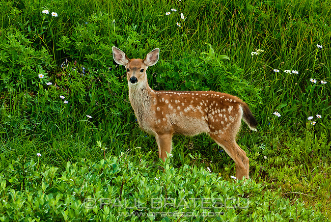 White-Tailed Deer, Paradise, Mount Rainier, Washington