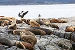 Sea Lions, Isla de los Lobos, Beagle Channel, Tierra Del Fuego National Park