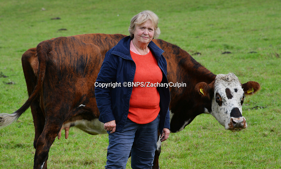 """BNPS.co.uk (01202 558833)<br /> Pic: ZacharyCulpin/BNPS<br /> <br /> New Forest Commoner Annie Cooper with one of her de-horned cows. Annie Cooper, who runs Acres Down Fram in Minstead, said: """"I take horns off my cows for animal husbandry reasons but I don't see that we should be made to do it because of people. """"If you went in to the jungle you wouldn't go and remove the claws from tigers or the tusks from elephants<br /> <br /> Hundreds of cows in the New Forest are having their horns removed following a worrying rise in cattle attacks on dog walkers.<br /> <br /> While many owners are agreeing to dehorn their livestock to reduce the risk of serious injury to the public, others object and compare it to 'going into the jungle to remove the claws from a tiger.'<br /> <br /> They blame a 'decline in sensible behaviour among forest users' for the increase in the attacks."""