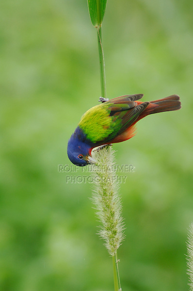 Painted Bunting (Passerina ciris), male feeding on Manchurian wild rice (Zizania latifolia), Port Aransas, Mustang Island, Coastal Bend, Texas Coast, USA