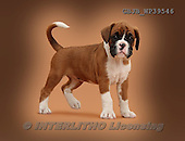 Kim, ANIMALS, REALISTISCHE TIERE, ANIMALES REALISTICOS, dogs, photos,+Boxer puppy, 7 weeks old, standing on brown background.,++++,GBJBWP39546,#a#