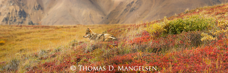 A gray wolf rests on a hillside in Denali National Park, Alaska.