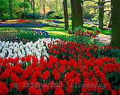 Tom Mackie, FLOWERS, photos, Keukenhof Gardens, Lisse, Holland, GBTM990358-4,#F# Garten, jardín
