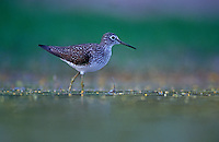 Solitary Sandpiper, Tringa solitaria, adult,  Starr County, Rio Grande Valley, Texas, USA