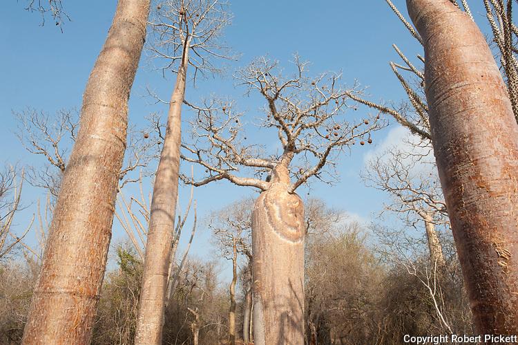 Fony Baobab, Adansonia rubrostipa, Reniala Nature Reserve, Ifaty, Madagascar