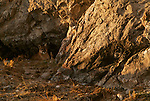 Adult mountain lion lying outside den in the National Elk Refuge in Jackson Hole, WY