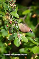 01415-02803 Cedar Waxwing (Bombycilla cedrorum)  eating berry in Serviceberry Bush (Amelanchier canadensis), Marion Co., IL