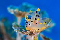 Sea Slug, Nudibranch, Thecacera pennigera,  family Polyceridae, marine gastropod mollusc, winged thecacera, yellow, blue, Bitung, Lembeh Strait, North Sulawesi, Celebes Sea, Indo-Pacific Ocean, Indonesia