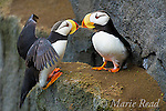 Horned Puffins (Fratercula corniculata), one landing with outspread wings to join its mate on cliff ledge, St. Paul Island, Pribilofs, Alaska, USA. Proximity of their bills makes them appear to be kissing.