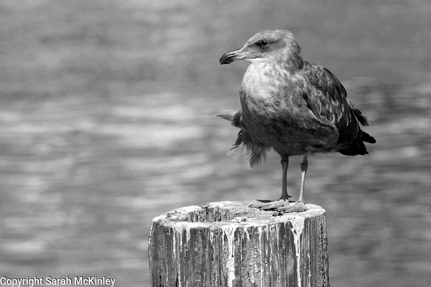 A seagull gets its feathers ruffled as it sits perched on a post in a bay in Eureka in Humboldt County in Northern California.