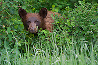 Black Bear Cub peering through the rain-soacked underbrush