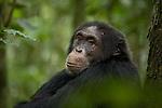 Africa, Uganda, Kibale National Park, Ngogo Chimpanzee Community. Wild adult male chimpanzee, Dexter