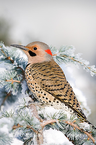 01193-014.05 Northern Flicker (Colaptes auratus) male on Blue Atlas Cedar (Cedrus atlantica 'Glauca') in winter Marion Co.  IL