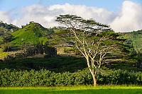Lone tree on Koloa ranch
