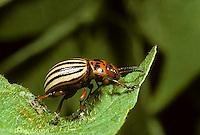 1C28-070z  Colorado Potato Beetle - adult - Leptinotarsa decemlineata