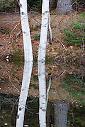 Reflection of birch trees in pond along the Kancamagus Highway (route 112), which is one of New England's scenic byways in the White Mountains, New Hampshire USA.