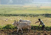 INDIA, Jharkhand, Chaibasa, Adivasi, Ho tribe, farming with ox / INDIEN, Jharkhand , Chaibasa , Dorf Baikanki , Ho Ureinwohner, pfluegen mit Ochsen