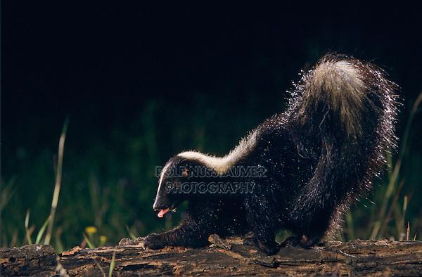 Striped Skunk, Mephitis mephitis, adult looking for food, Welder Wildlife Refuge, Sinton, Texas, USA, April 2005