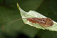 Köcherfliege, Halesus radiatus, Köcherfliegen, caddisfly, sedge-fly, rail-fly, caddisflies, sedge-flies, rail-flies, Trichoptera
