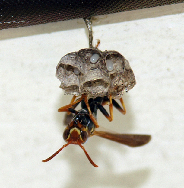 Brown wasp - Polistes fuscatus - with nest and eggs.